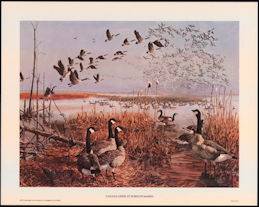 #MS290 - Large 1973 Remington Arms Canada Geese at Horicon Marsh Print - As low as $2 each